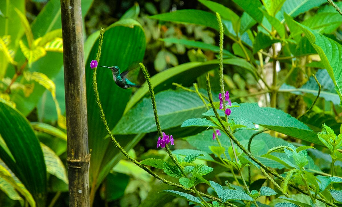 Ecuador Milpe mindo cloud forest hummingbird