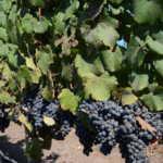 Meeting Laura Hartwig, or her wines anyway