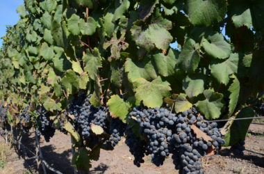 These are carmenere grapes, which are purple.