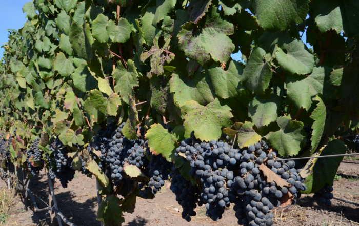 chilean carmenere grapes wine