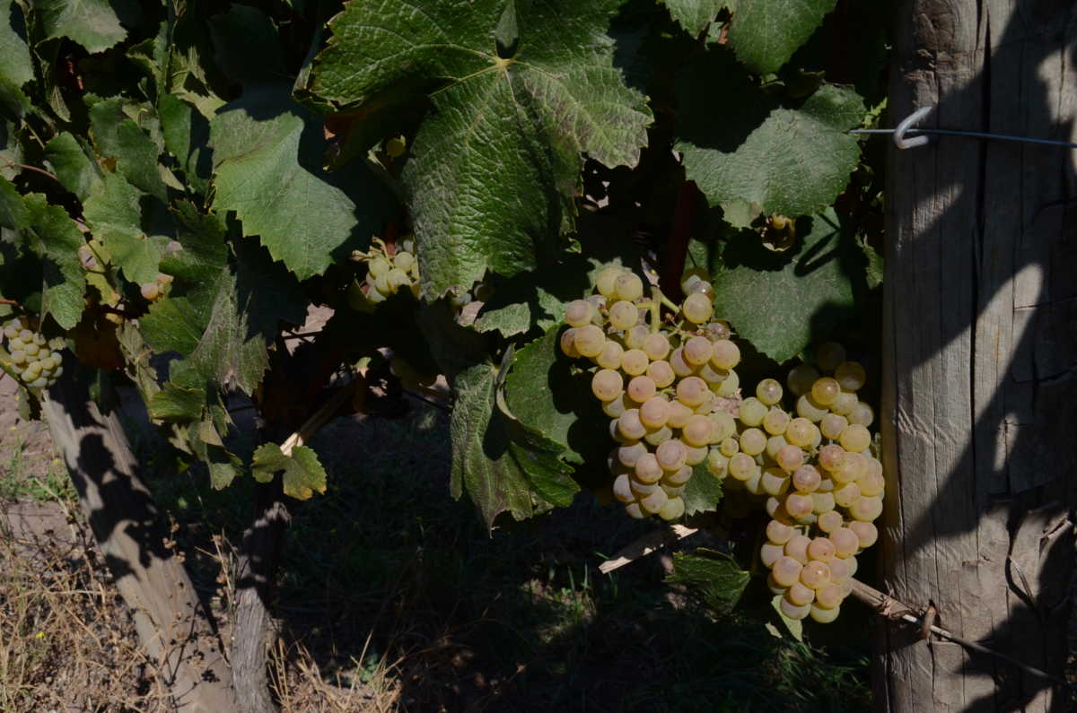 chilean chardonnay grapes