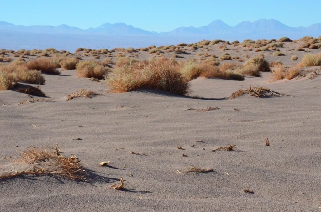 Atacama Desert paja brava