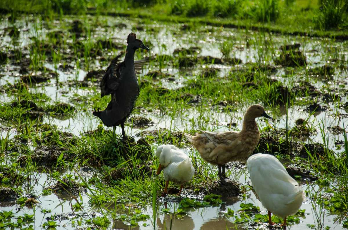 black duck bali rice field