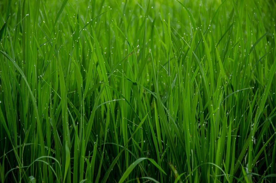 dew bali rice field