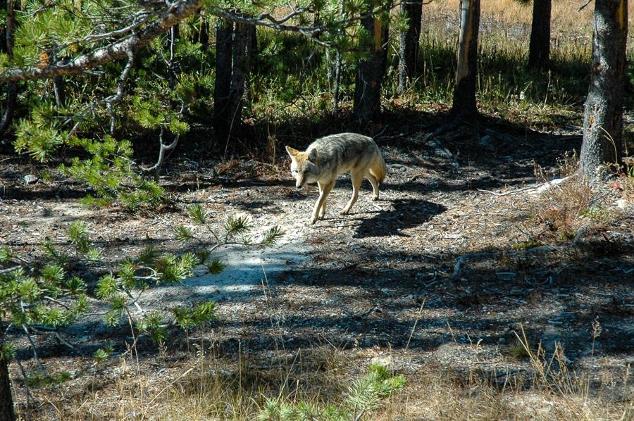 coyote grand tetons