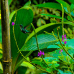 Hummingbird, Milpe Cloud Forest, Ecuador