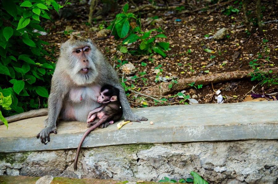 monkey baby ubud bali
