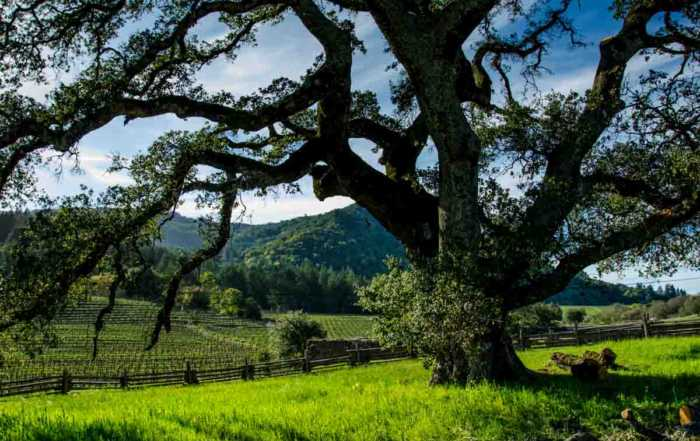 USA California Jack London tree vineyards