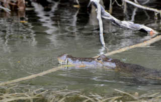 Crocodile Lamanai Belize