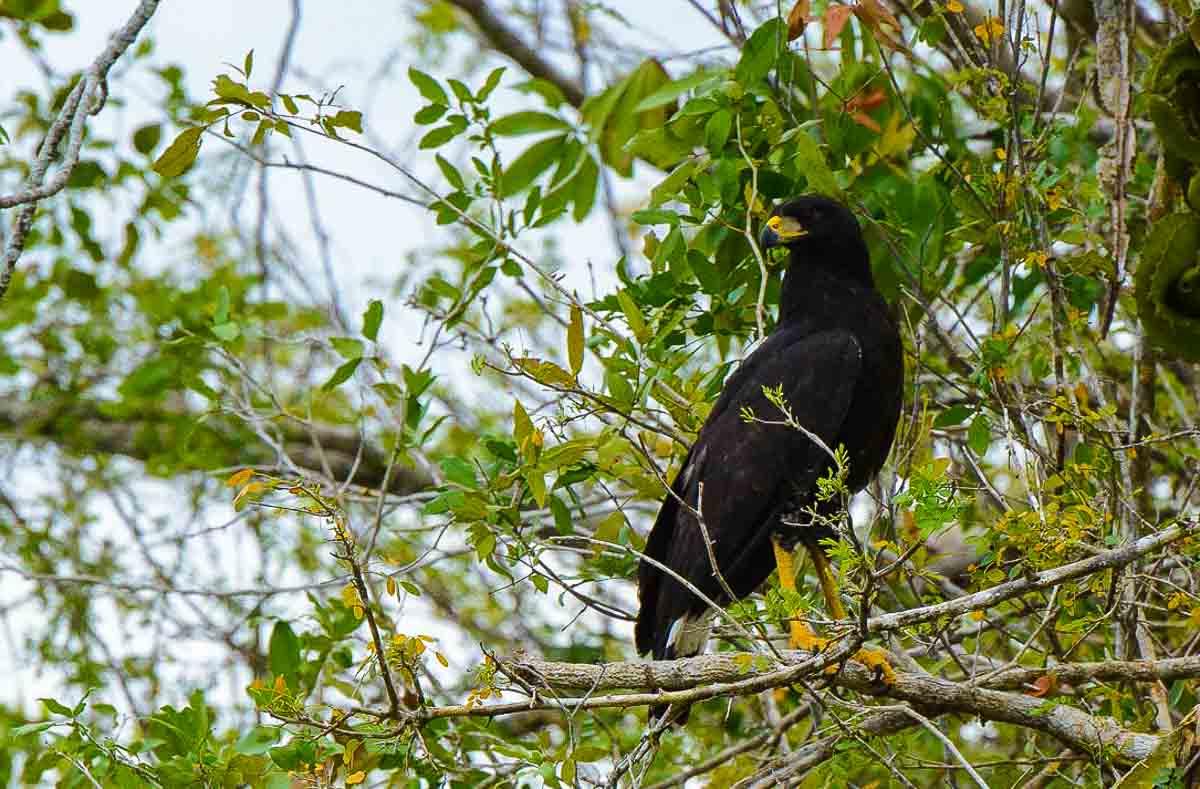 belize hawk