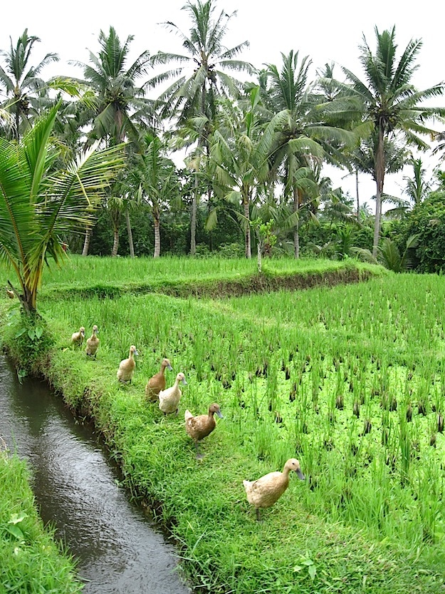ducks Bali subak rice system unesco world heritage