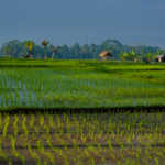 The Subak System: Rice Growing in Bali