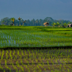 Bali rice field, early morning