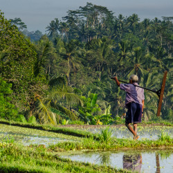 bali rice farmer green