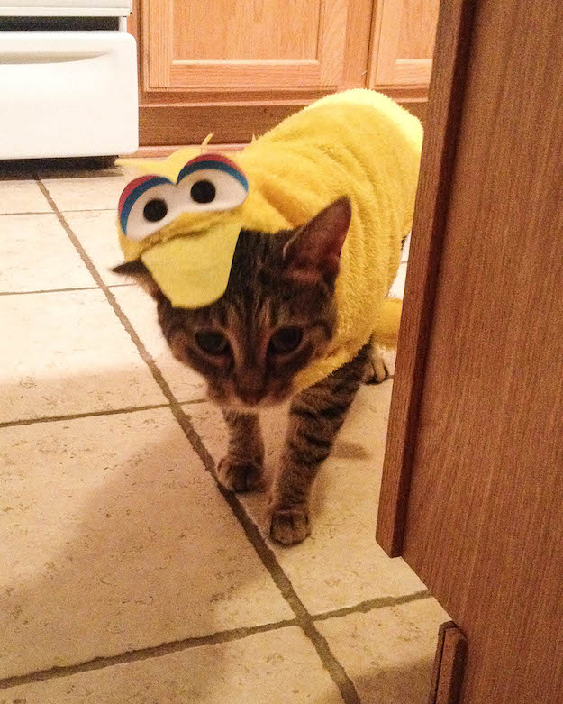 Linx (Links?) the Kitty is preparing for Halloween, or an artful dodge from Gus.