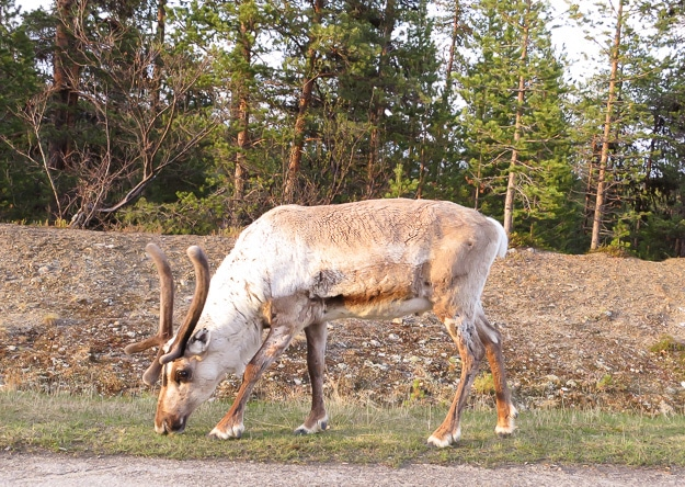 Reindeer in Finland are as common as raccoons in mid-America, except cuter and tamer.