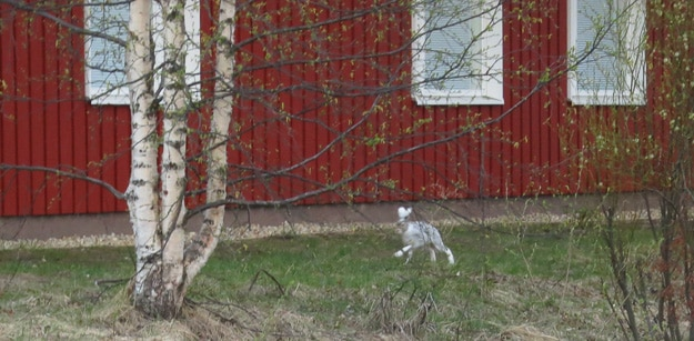 So wild in Finland, with such long legs.