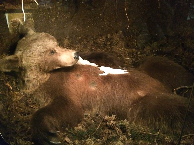Bear with cubs on display at the Sami Museum, Siida, in Inari, Finland.