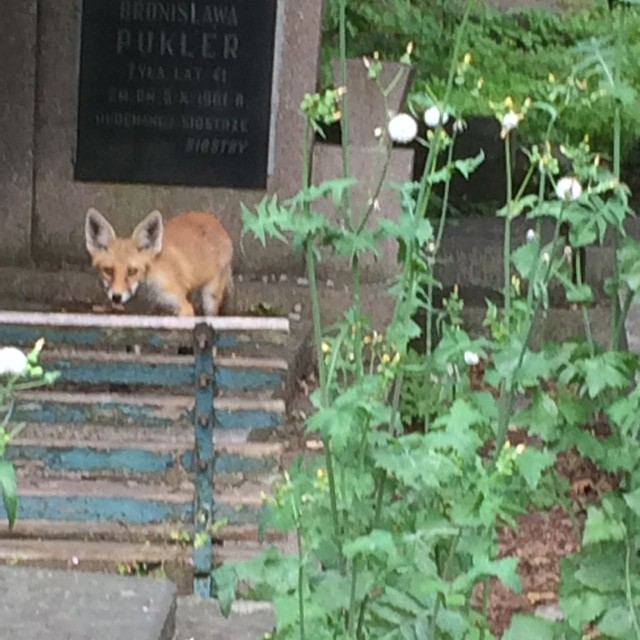 We saw a fox wandering around the cemetery in Warsaw. He stayed with us a while before taking off.