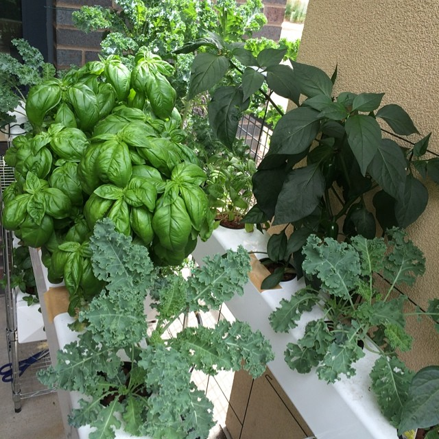 My son's homemade hydroponic garden. Yum!