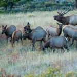 Bull Elk and his Harem, Rocky Mountain National Park