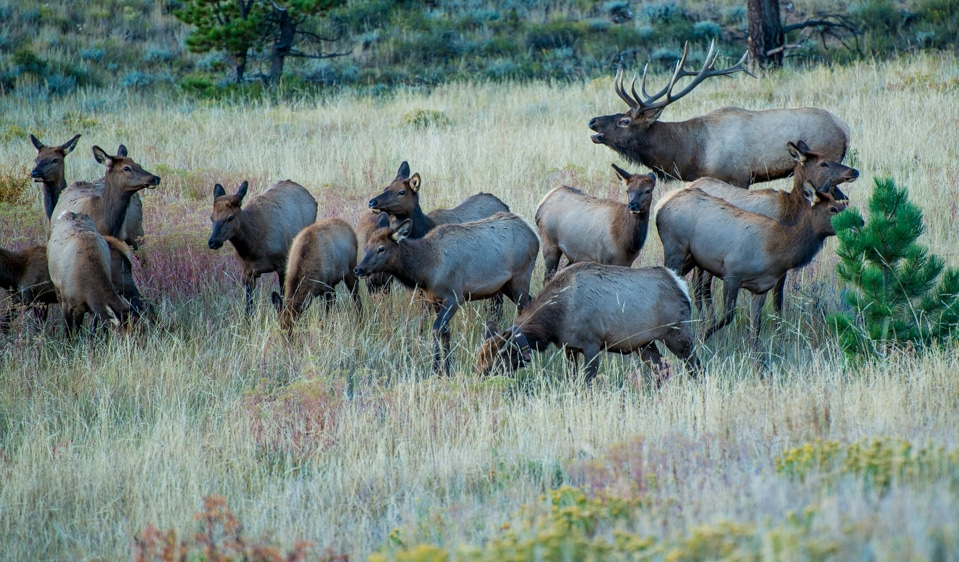 bull elk harem rocky mountain_