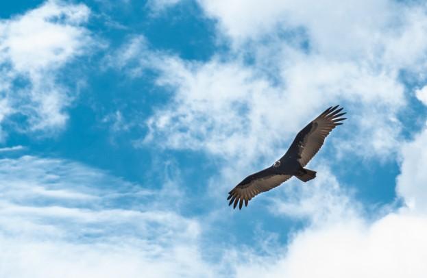 turkey buzzard new mexico