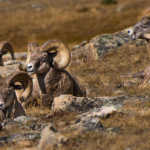 Big Horn Sheep, Rocky Mountain National Park