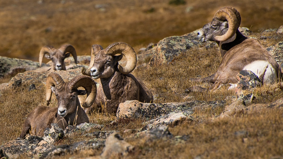 big horn sheep rocky mountain national park
