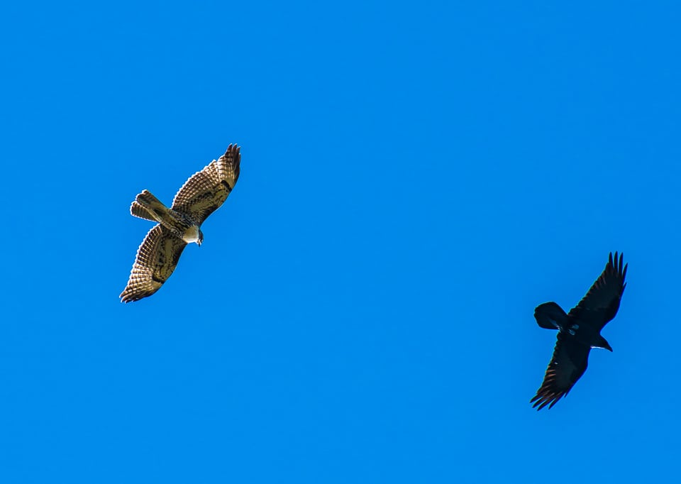 hawk and raven