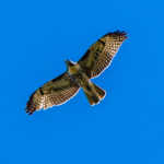 Swainson's Hawk, Raton, New Mexico