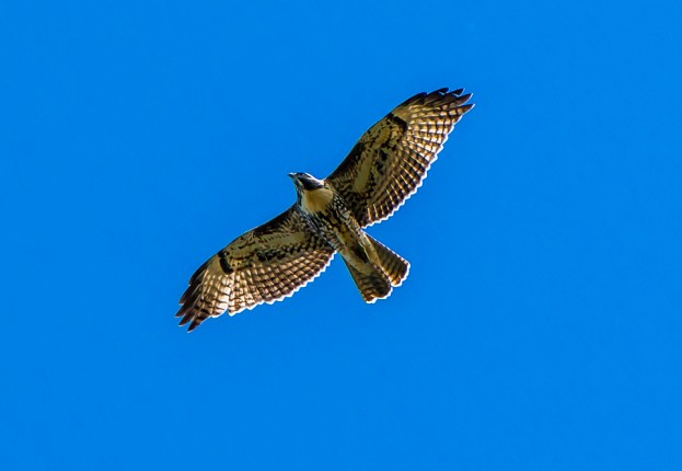 swainsons hawk new mexico