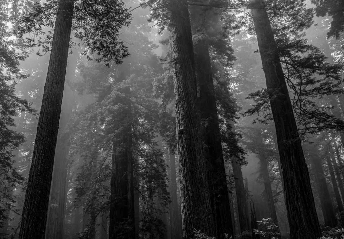 redwoods in fog redwood national park