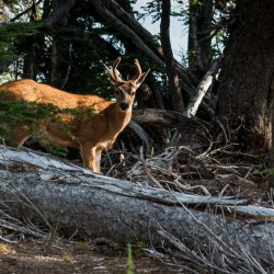young deer at Olympic National Park