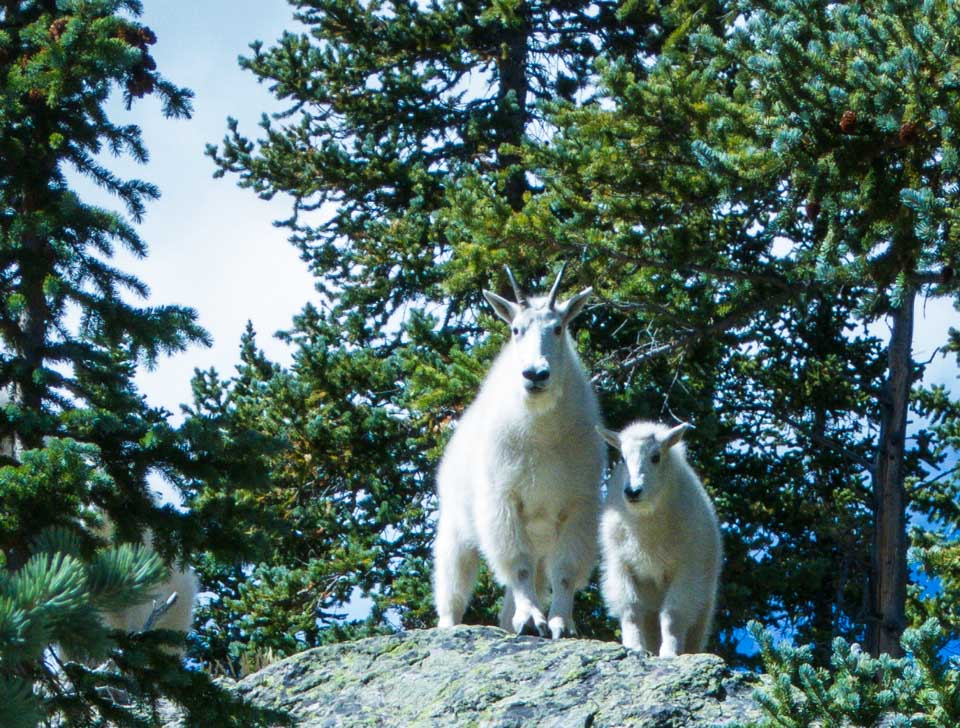An unexpected reward for the hike up McCullough Gulch Trail near Breckenridge, Colorado, were these mountain goats who, along with a few others, stopped to pose for some hikers.