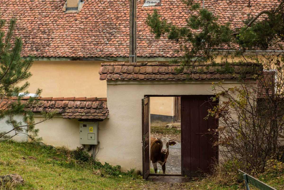 fortified church viscri romania cow