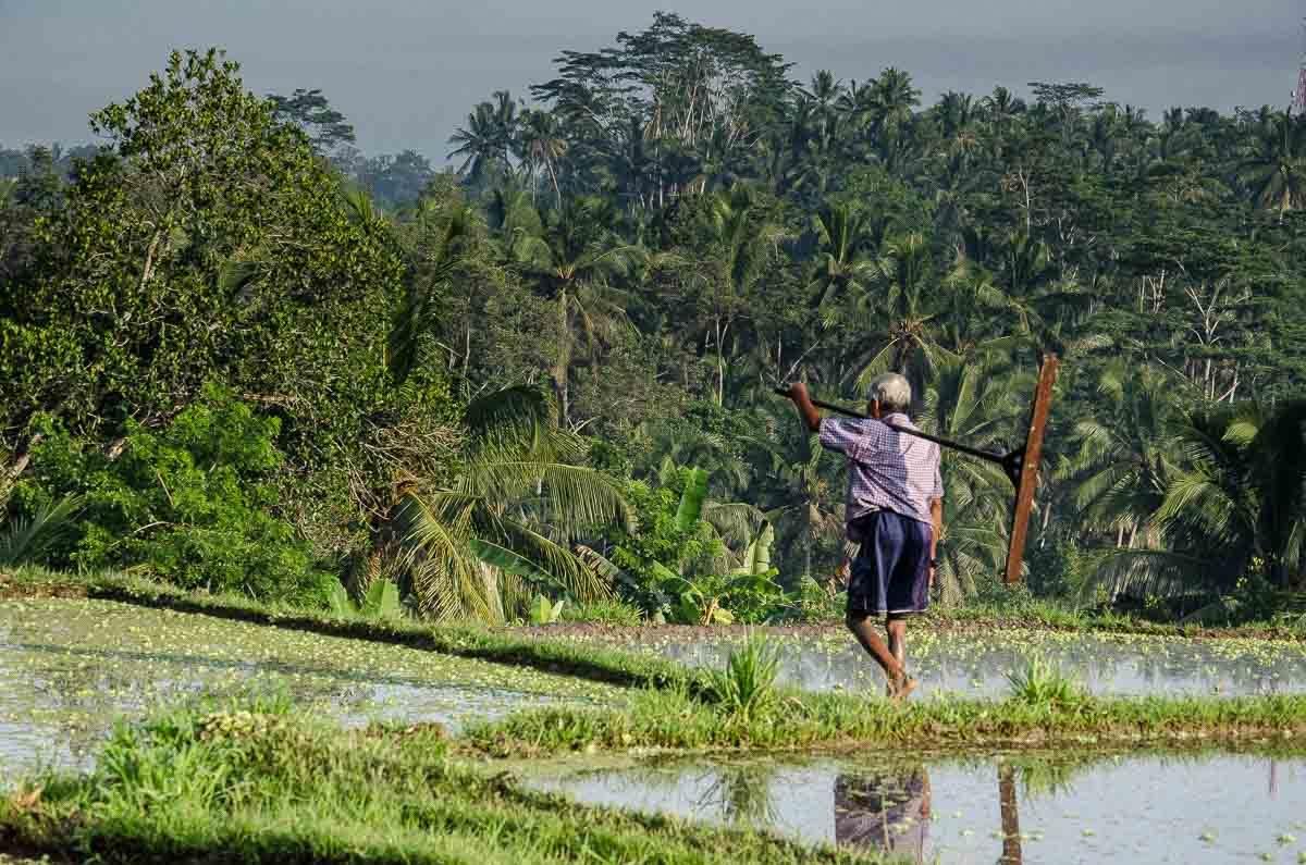 Bali ubud farmer in field