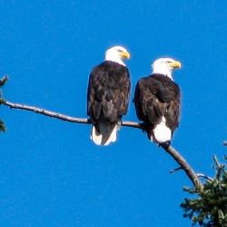 Pair Eagles