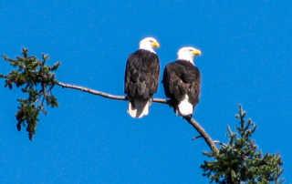 Pair Eagles