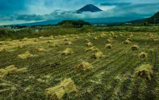 rice harvest mount fuji