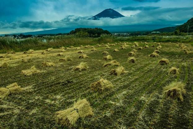 rice harvest mount fuji
