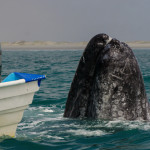 Way Close Gray Whales