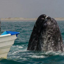 Magdalena Bay: Gray Whales, UnCruise, Mexico
