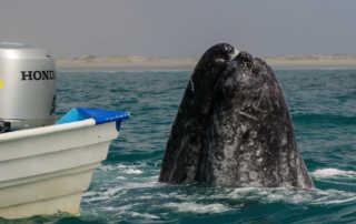 Magdalena Bay: Gray Whales, UnCruise, Mexico