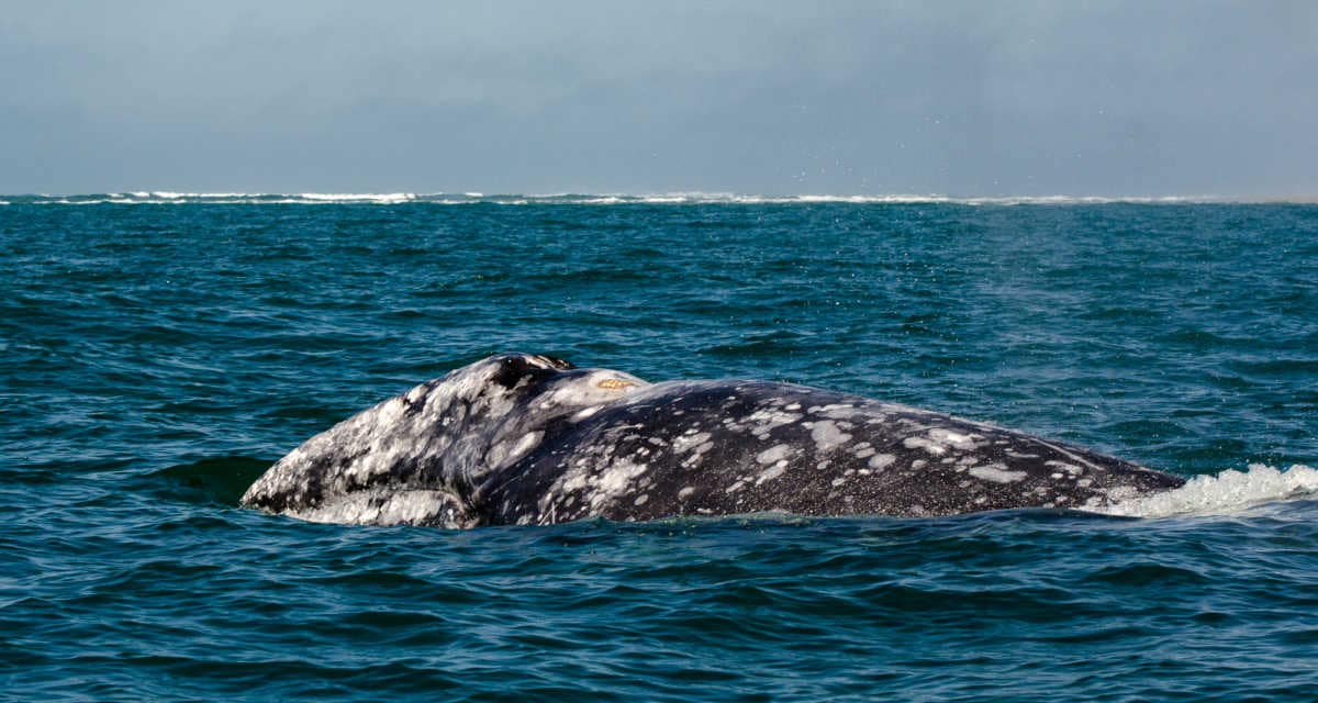 Whale watching from Puerto Lopes Mateo, Magdalena Bay, Mexico