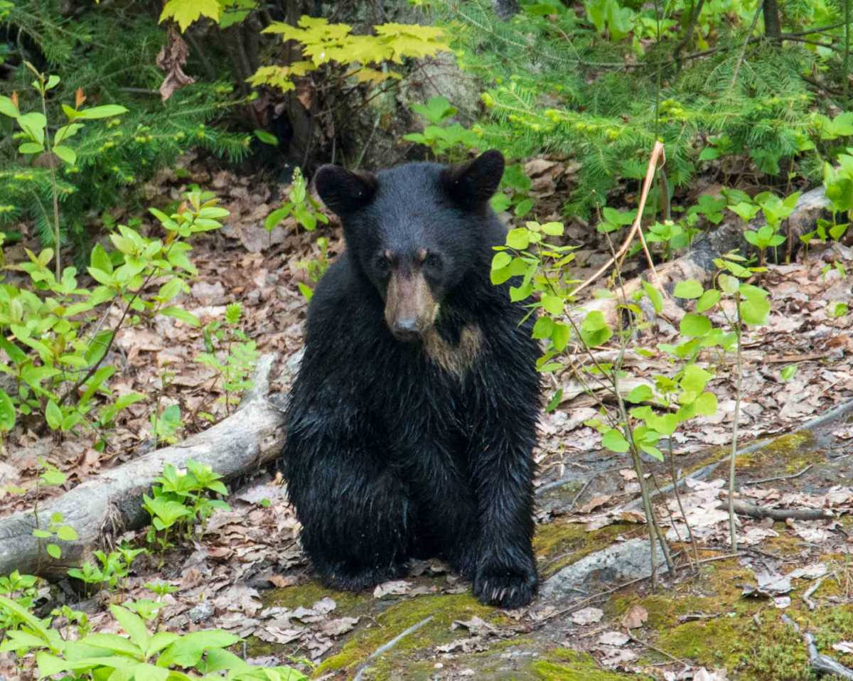 black bear saguenay 3