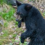 Young Black Bear, Saguenay, Quebec