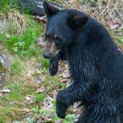 black bear saguenay 8
