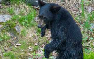 black bear saguenay 8