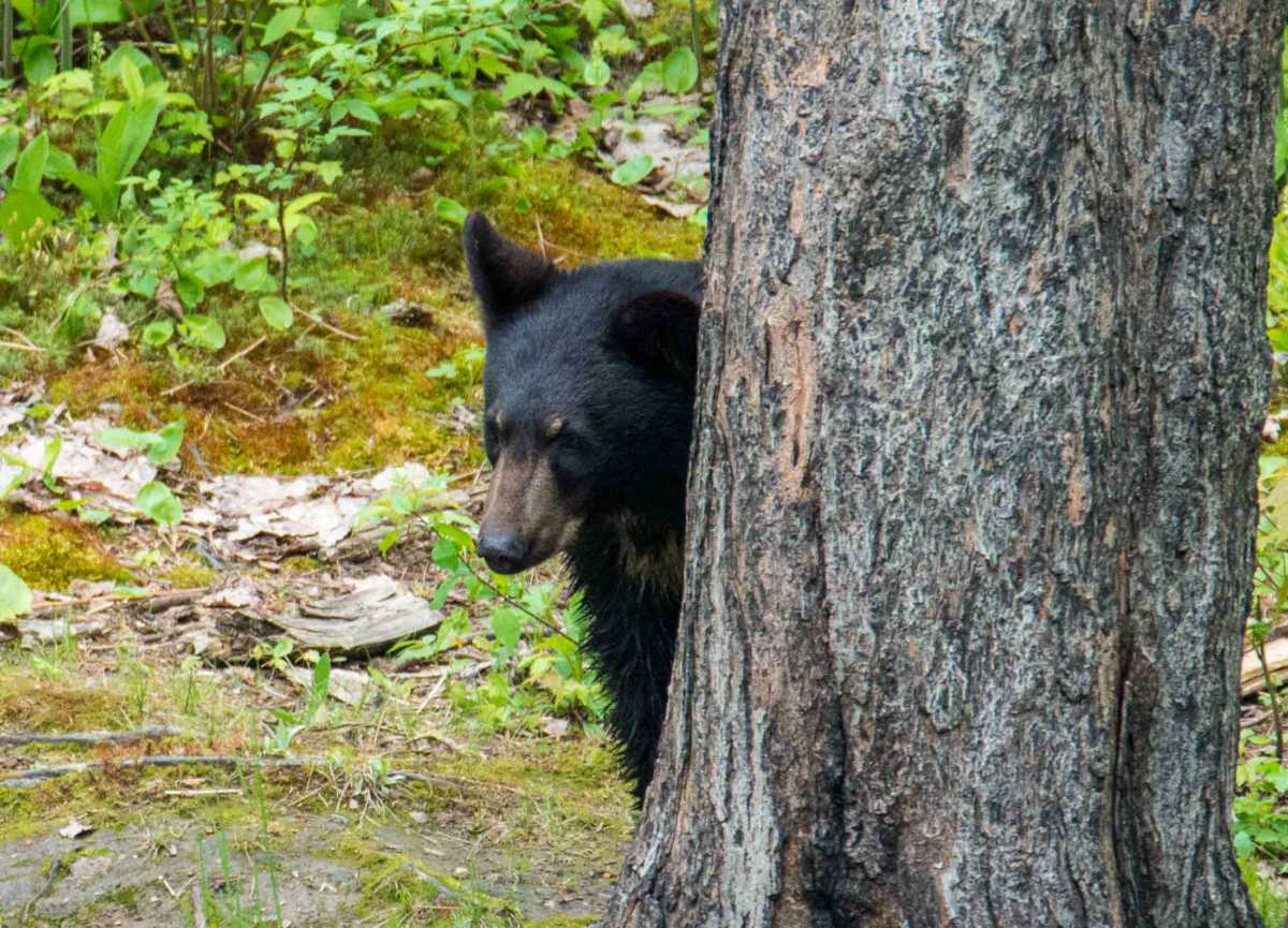 black bear saguenay